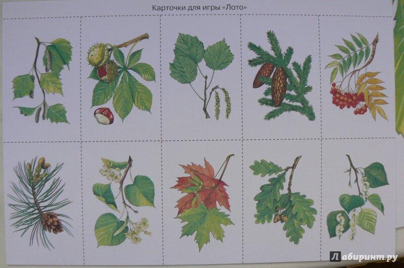 сейчас листья деревьев какие бывают с картинками деревом достаточно