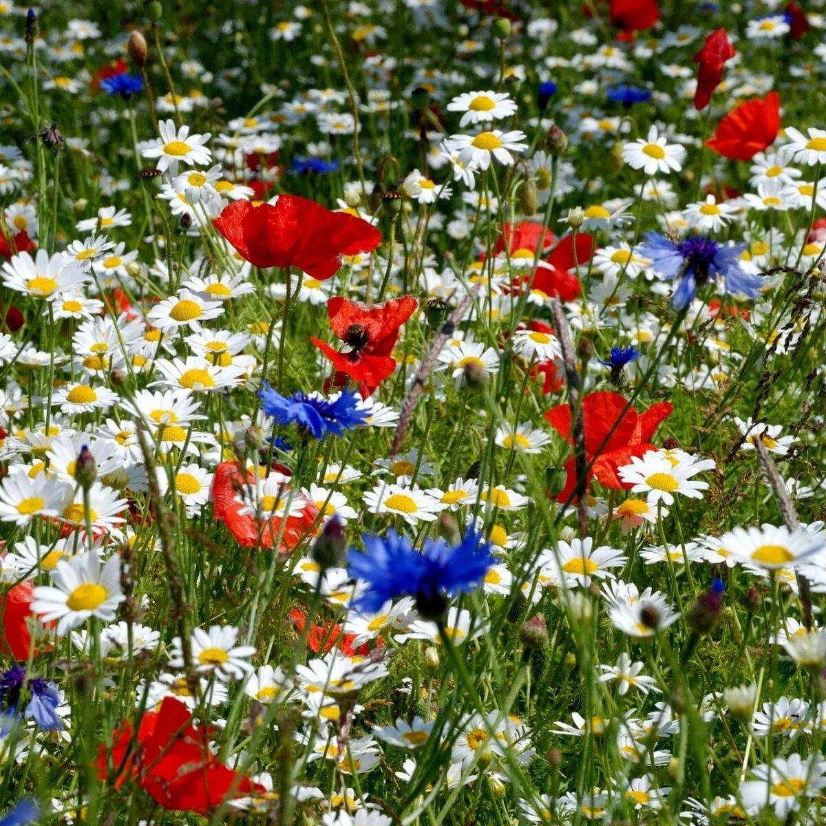 Полевые цветы полевые васильки и ромашки в лугах