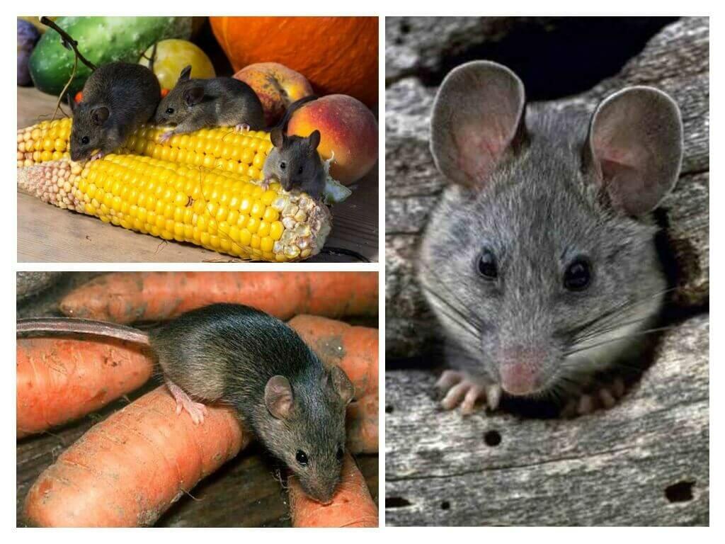 картинки вредная еда с крысами и мышами как спроектировал