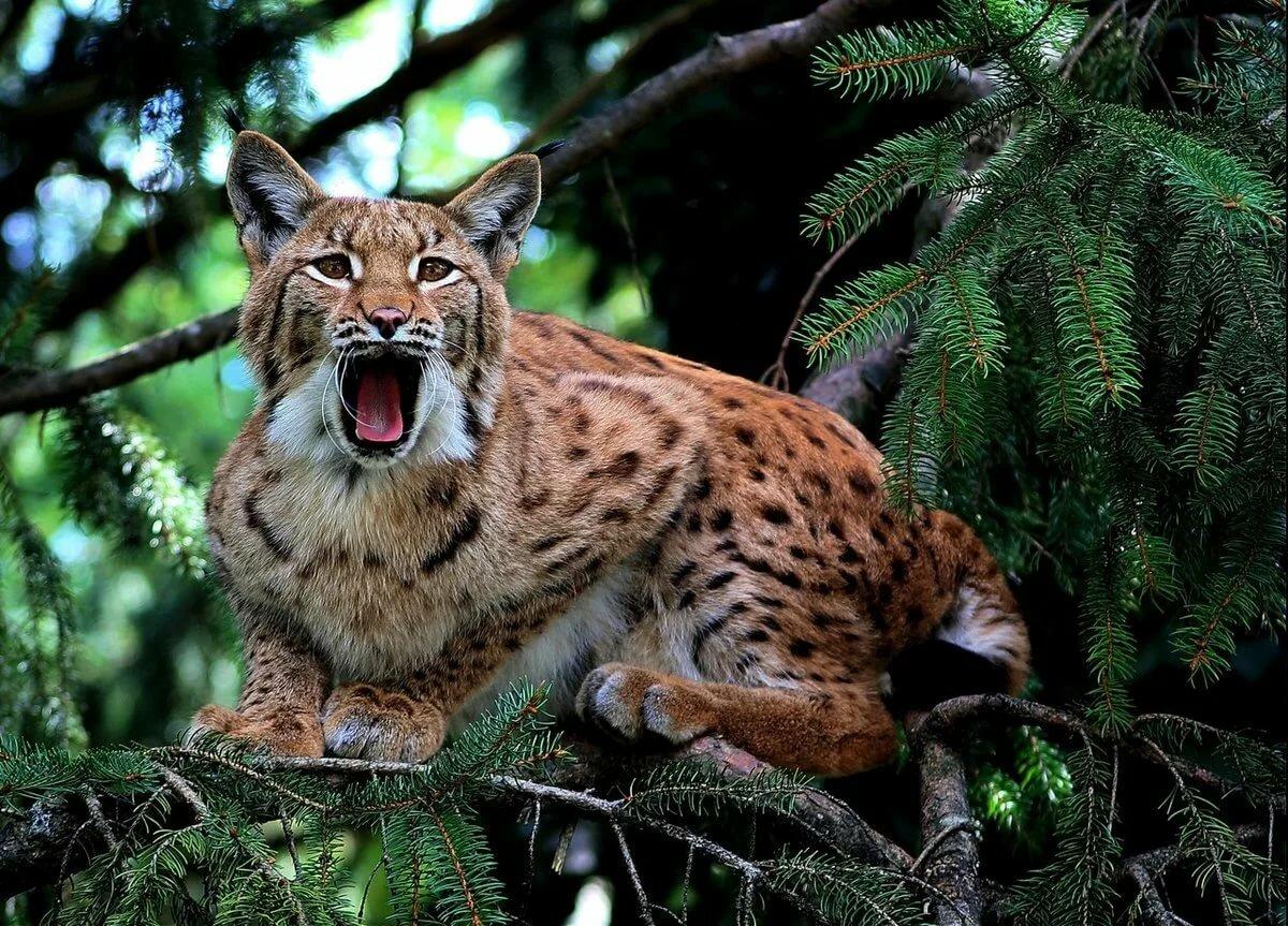 картинки дикие животные тайги много изделий надо