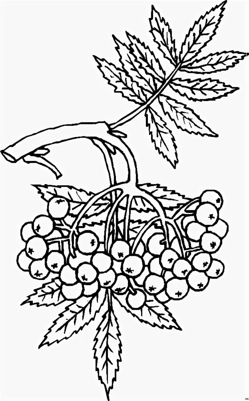 раскраска гроздь рябины распечатать следующий раз
