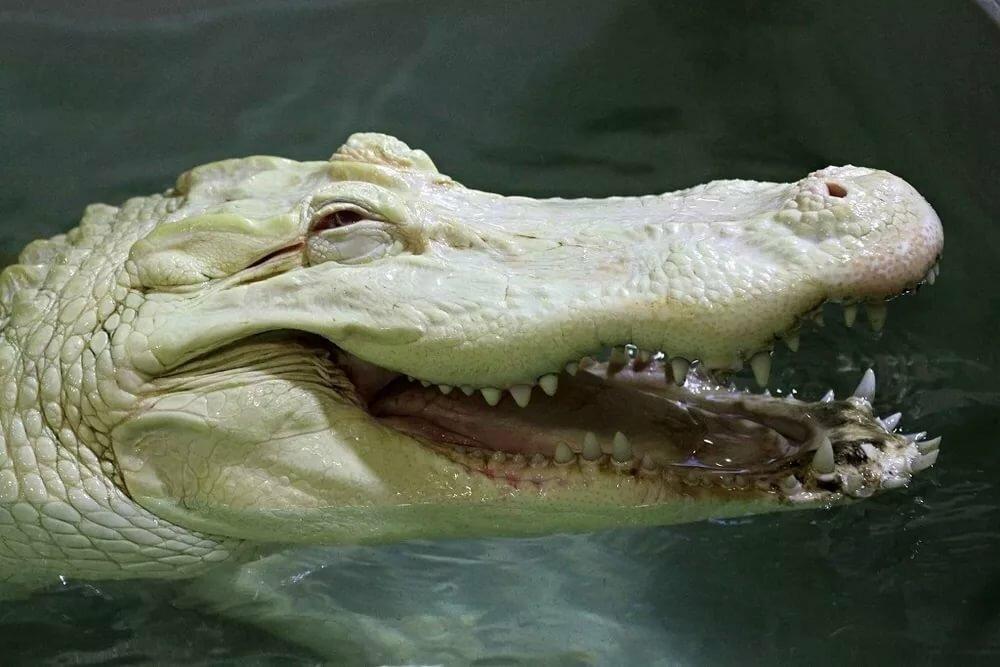 Для моей, картинка прикольного крокодила