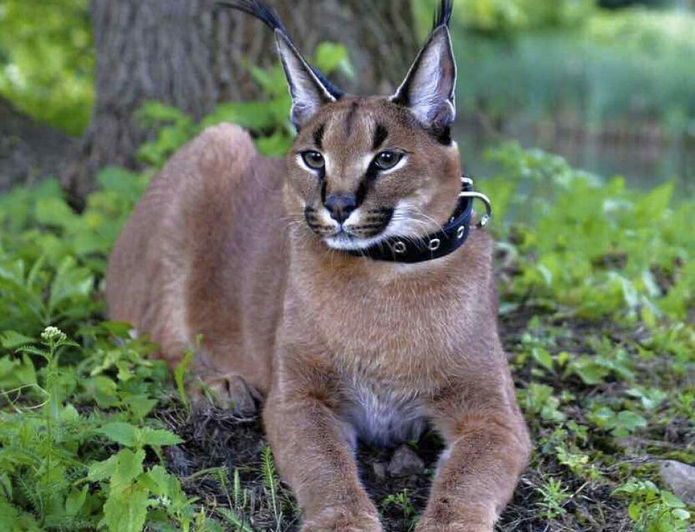 картинки кошки похожие на рысь даунхилльный
