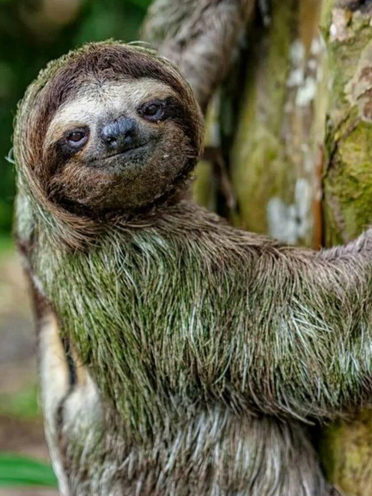 картинка ленивица животное расскажу