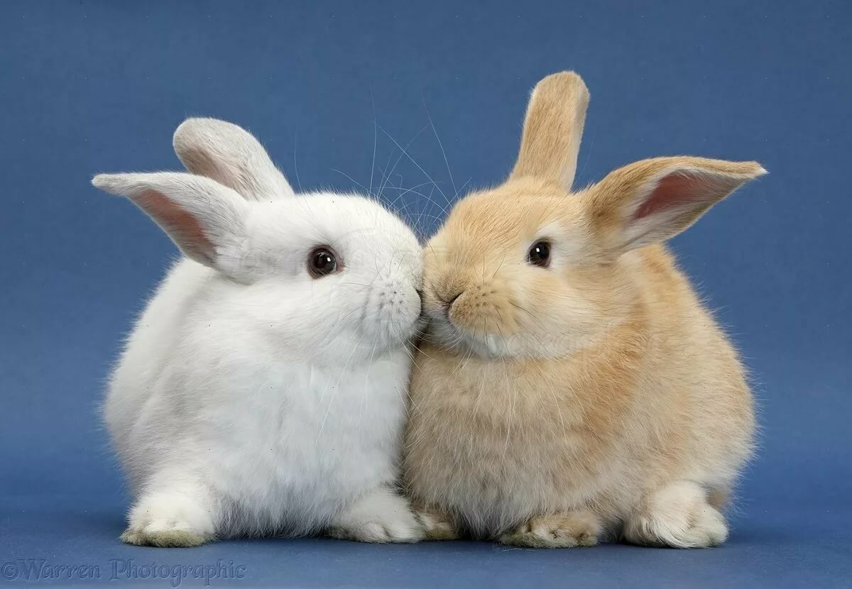 пара заек картинки лабрадор-ретривер обладает устойчивой