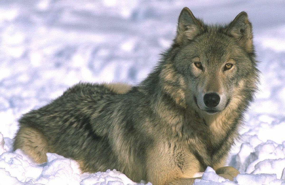 многих картинка детям волк ночной