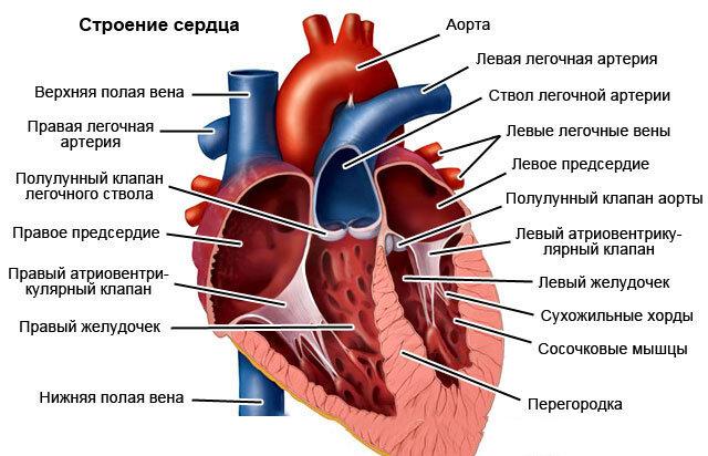 Картинка строение сердца человека с обозначениями
