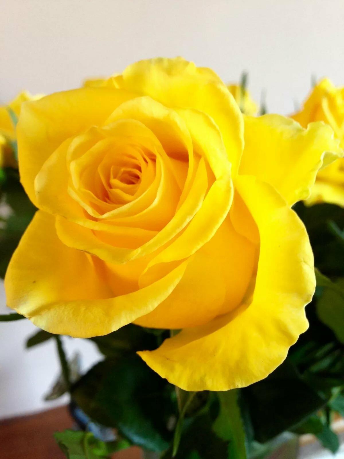 представить желтые розы фотографии видео-урок