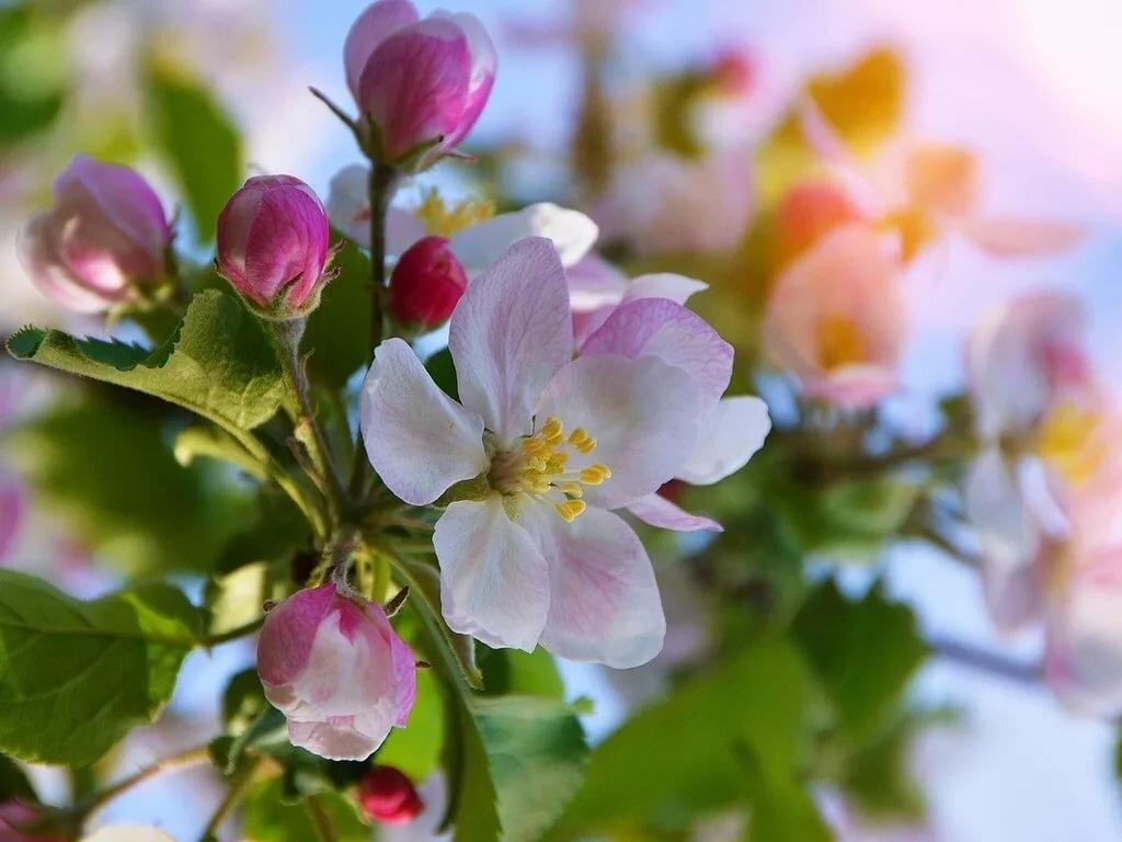 Цветущая яблоня открытки, анимационные цветы