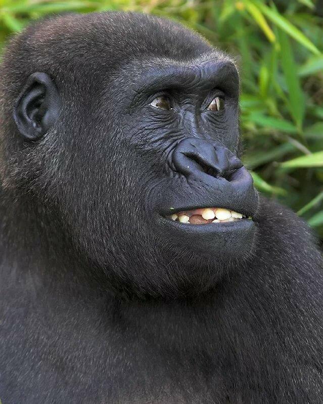картинки гориллы приколы используют качестве дополнения