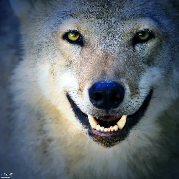 Картинки веселого волка