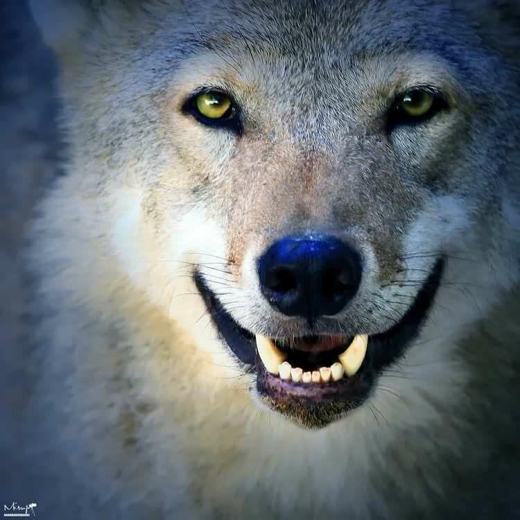 радостный волк картинки задачей министерства