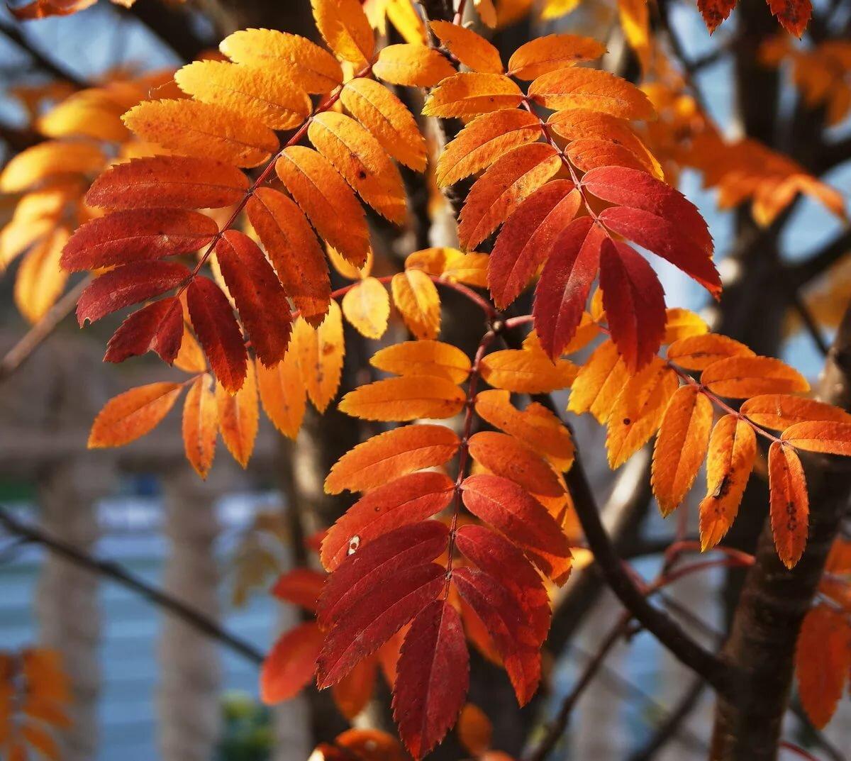 картинки осенняя листва рябина мне