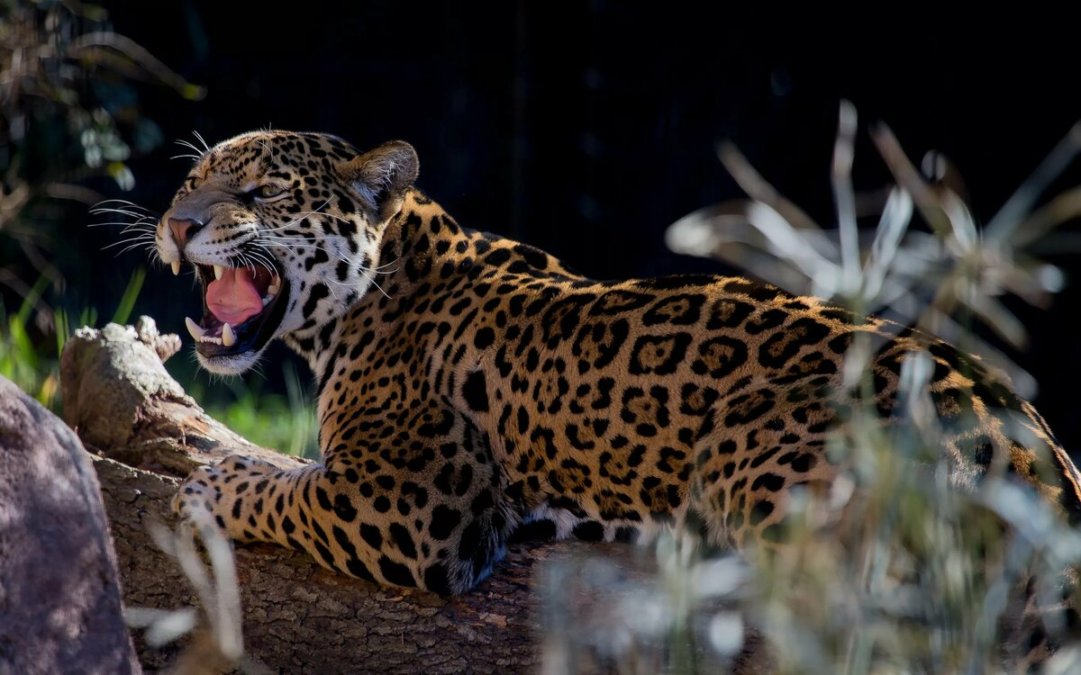 Животные ягуар в картинках
