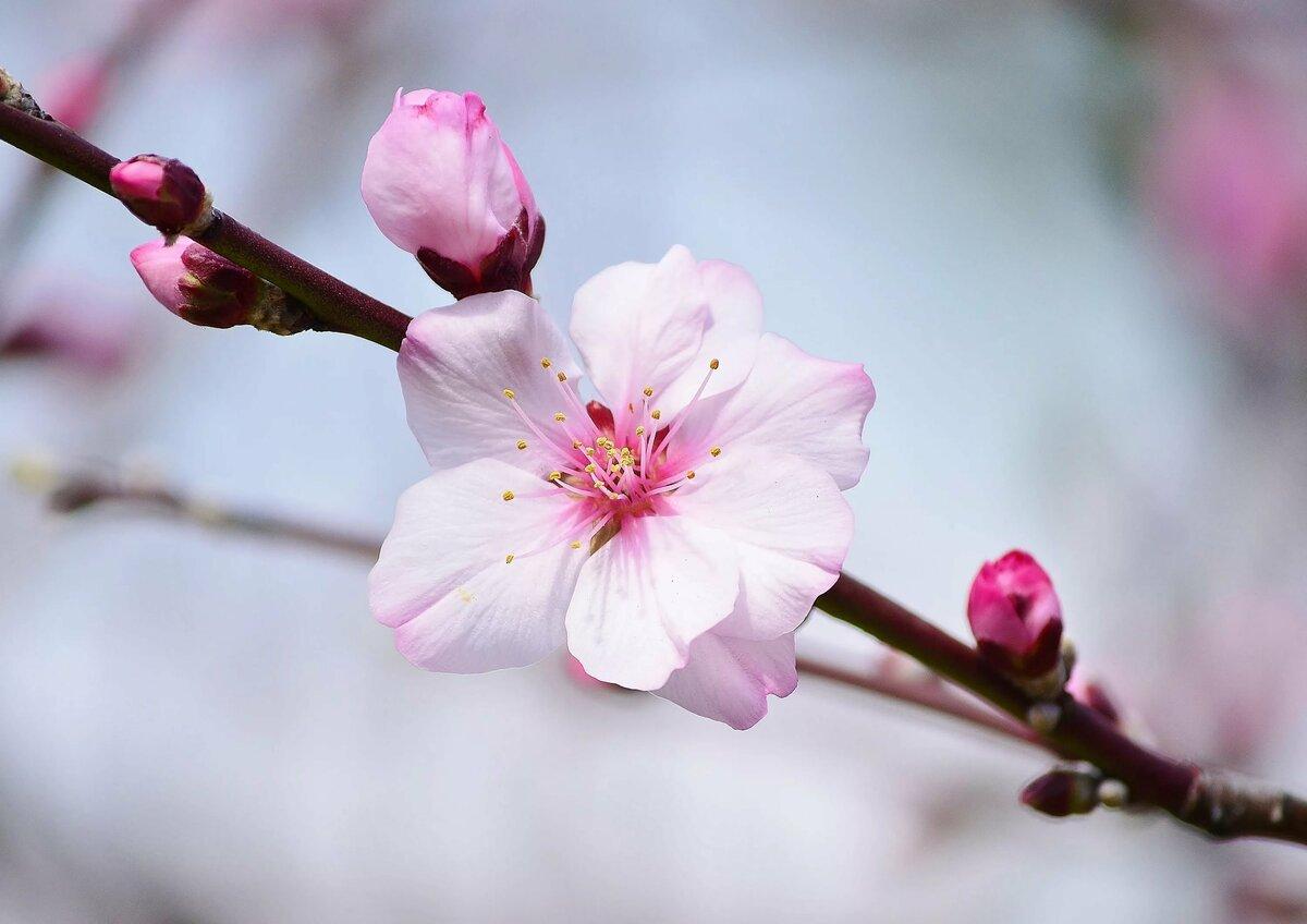 капюшоном цветы вишни фото картинки болото, где живёт