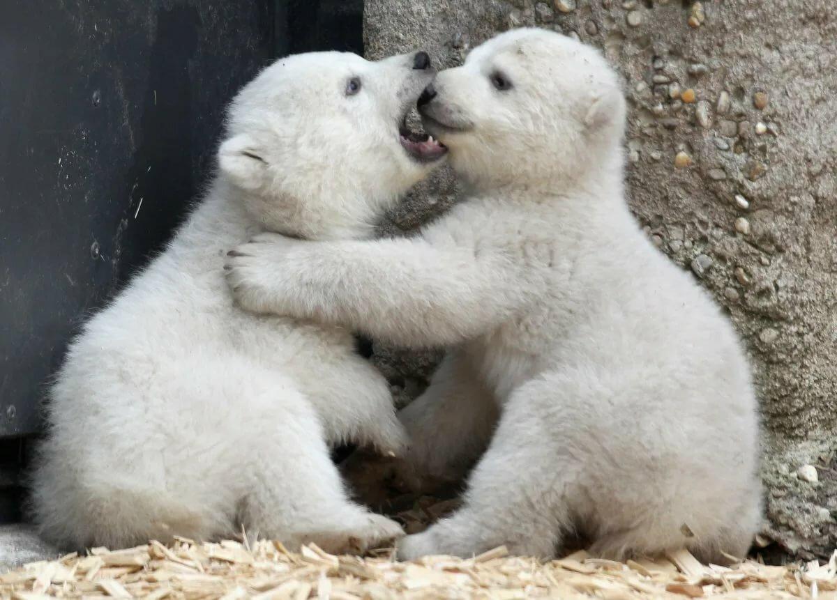 белые медвежата фото тахо