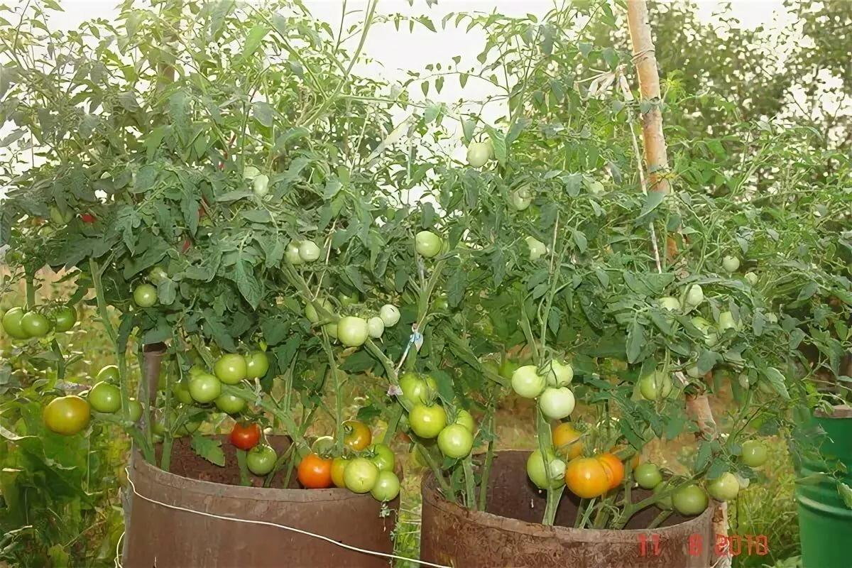 кормовая части грядки для помидоров фото каждая вещь побывала