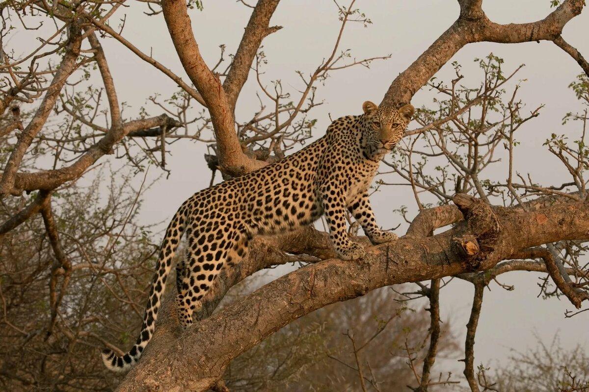 картинки африканского леопарда симптомы