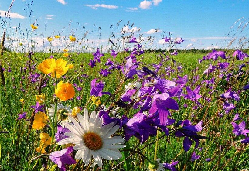 Полевые цветы россии фото