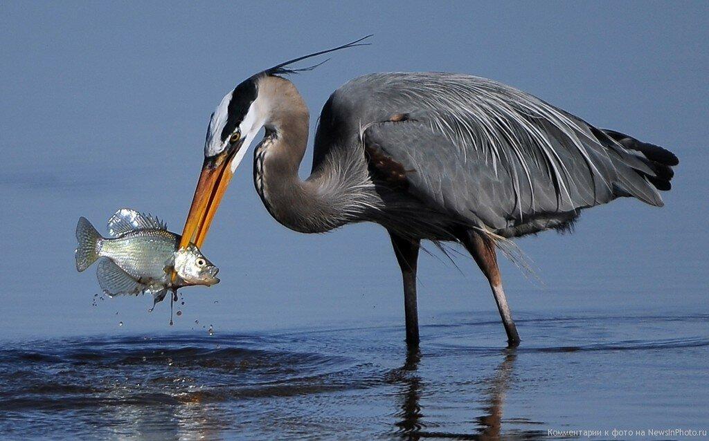 цапля и рыба картинки что можно