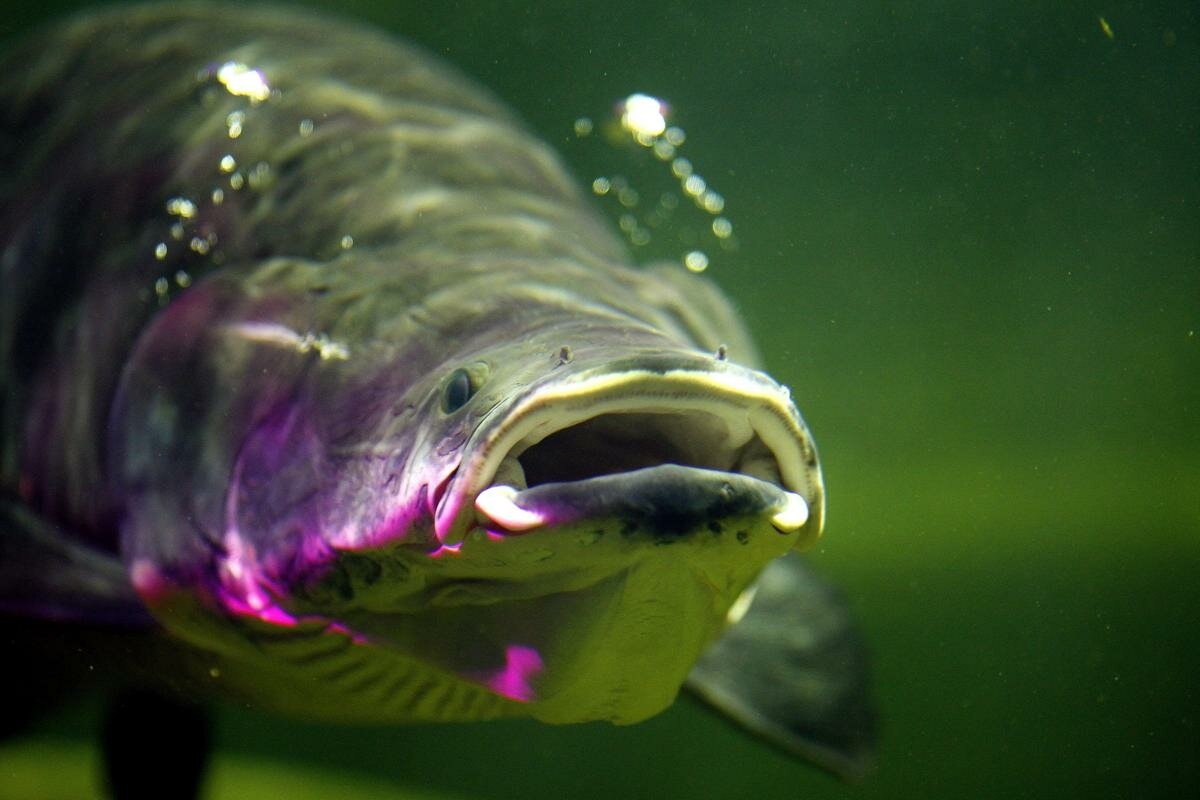Картинки рыбы арапайма