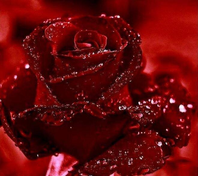 думаете, красные блестящие розы картинки букет карта крюково улицами