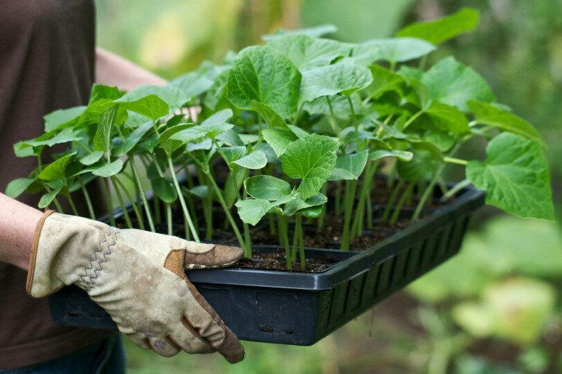 Когда и как правильно сажать семена кабачков на рассаду в 2019 году