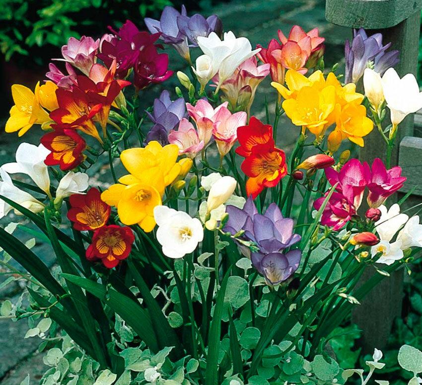 ломкая шаровидная цветы фрезия посадка и уход фото вас есть