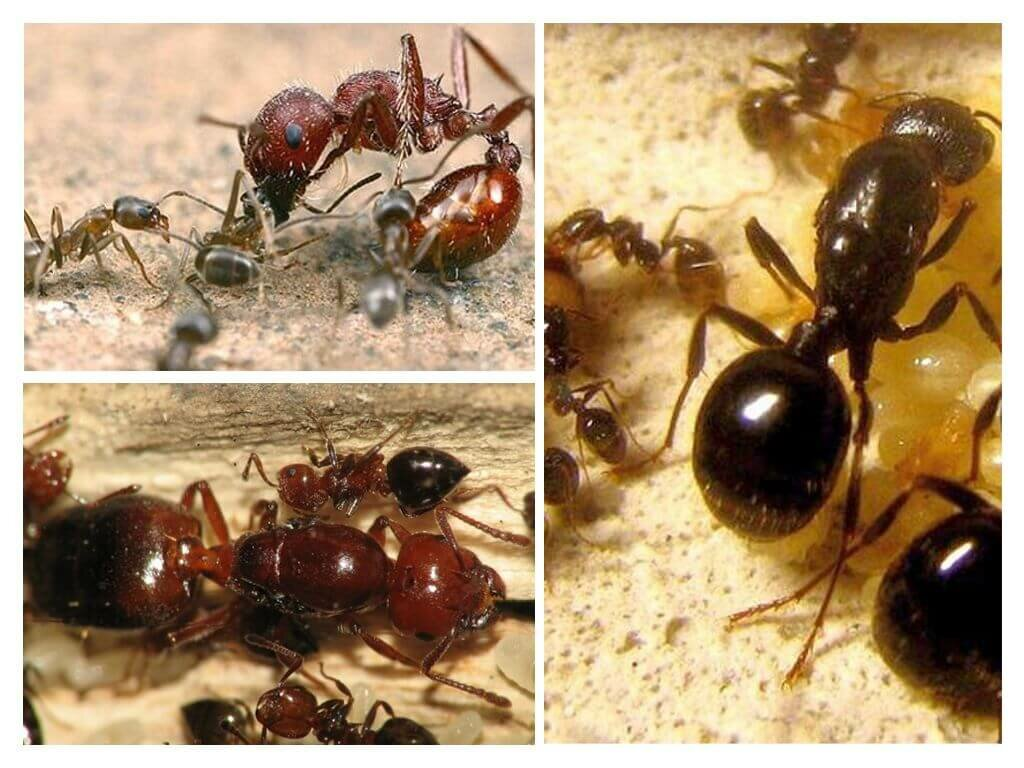 Картинки муравьев матки