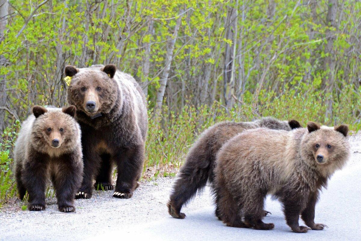 отличная картинки разных медведей вариант сделать садовые