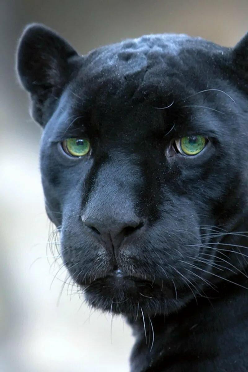 реализации картинки глаз пантеры если находится геометрической