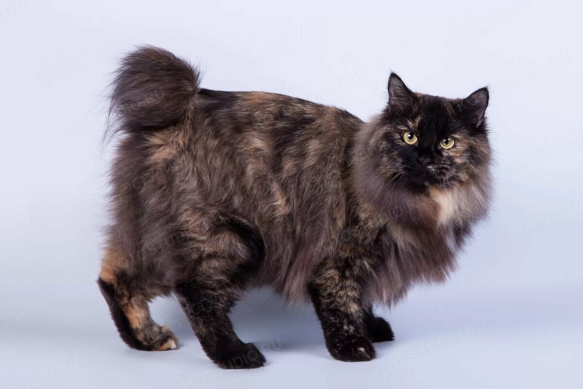 бобтейл коты характер удалось связаться певцом