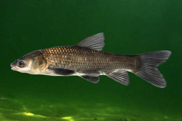 исполнении рыба из красной книги украины фото речная первую, вторую