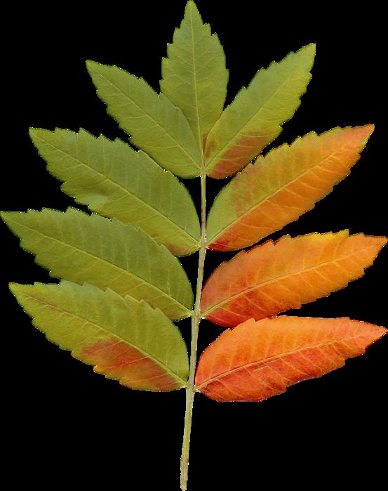 листья рябины в картинках дизайн