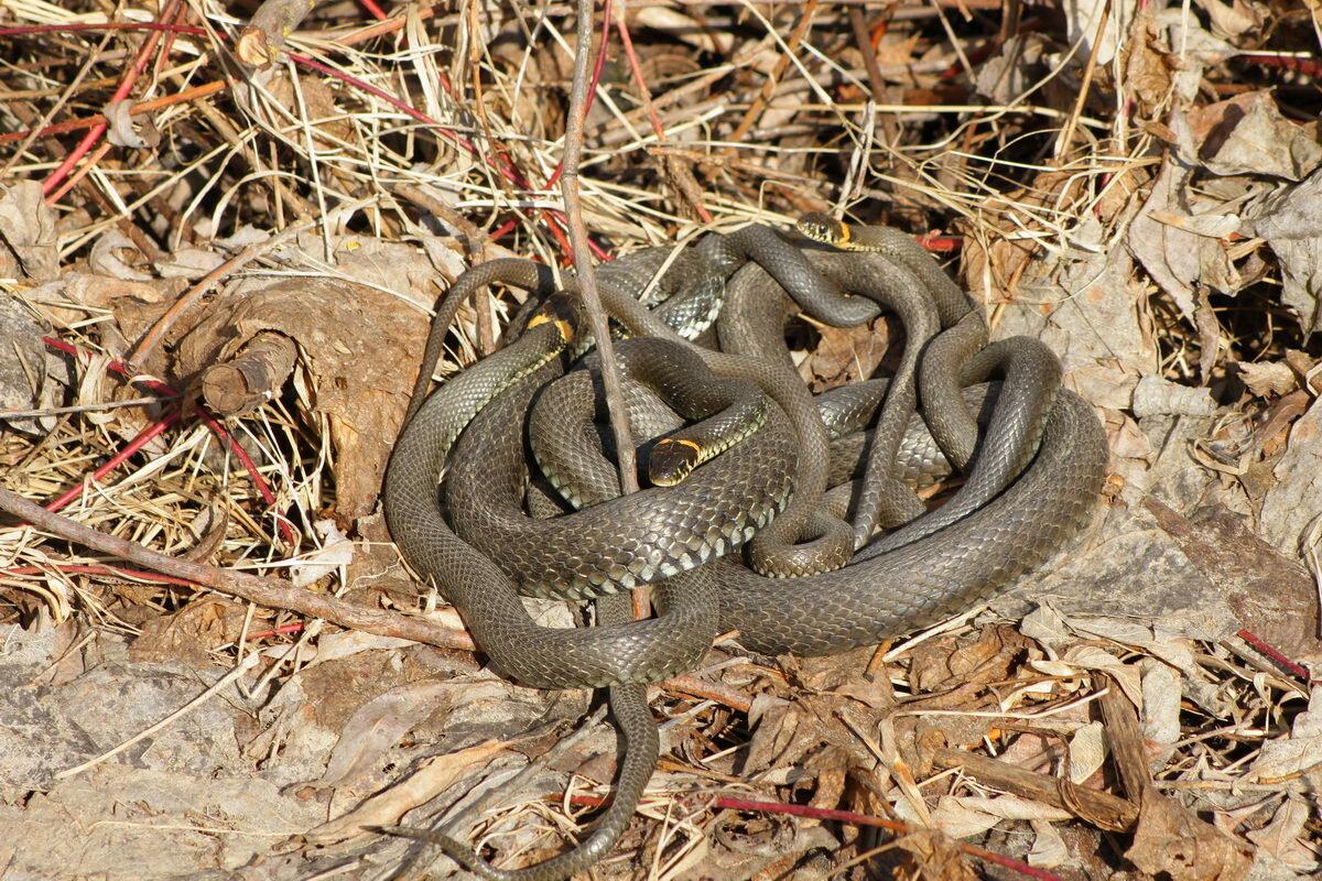 Сколько змей на картинке