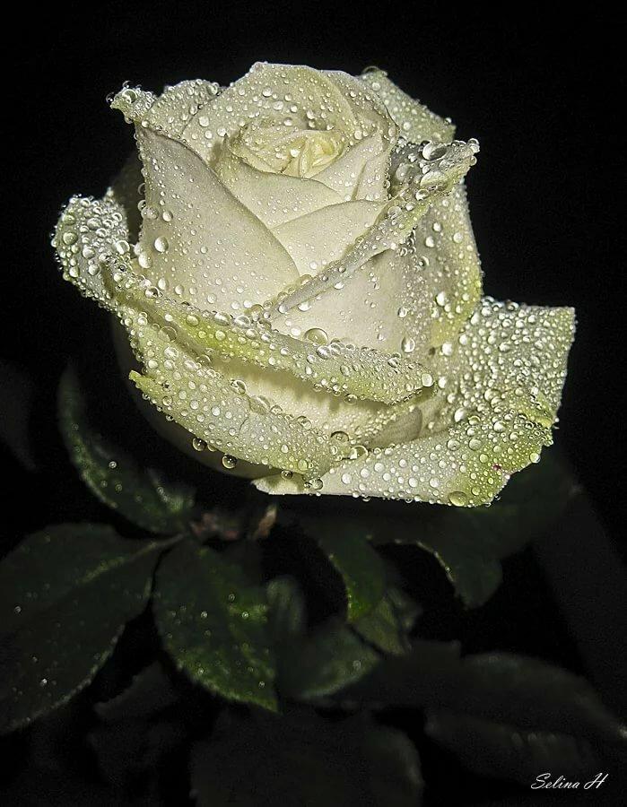 Открытки розы белые в капельках