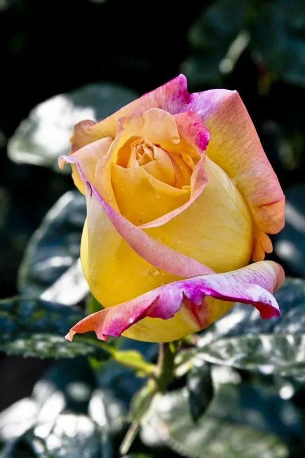 накидка желто розовые розы фото сравнивать себя другими