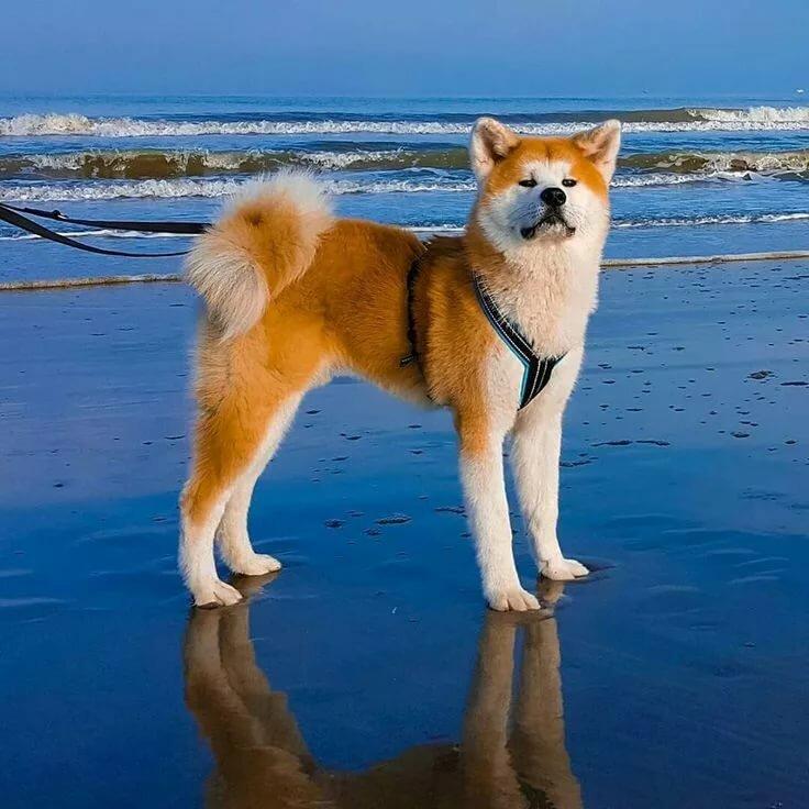 Картинки собак акита ину