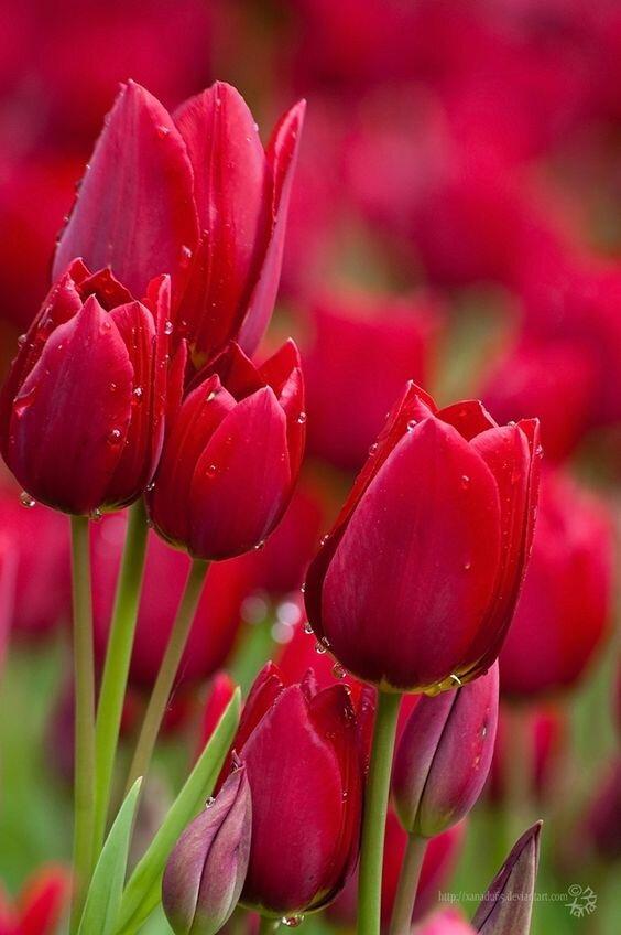 Тюльпаны картинки на телефон, подработке прикольные картинки