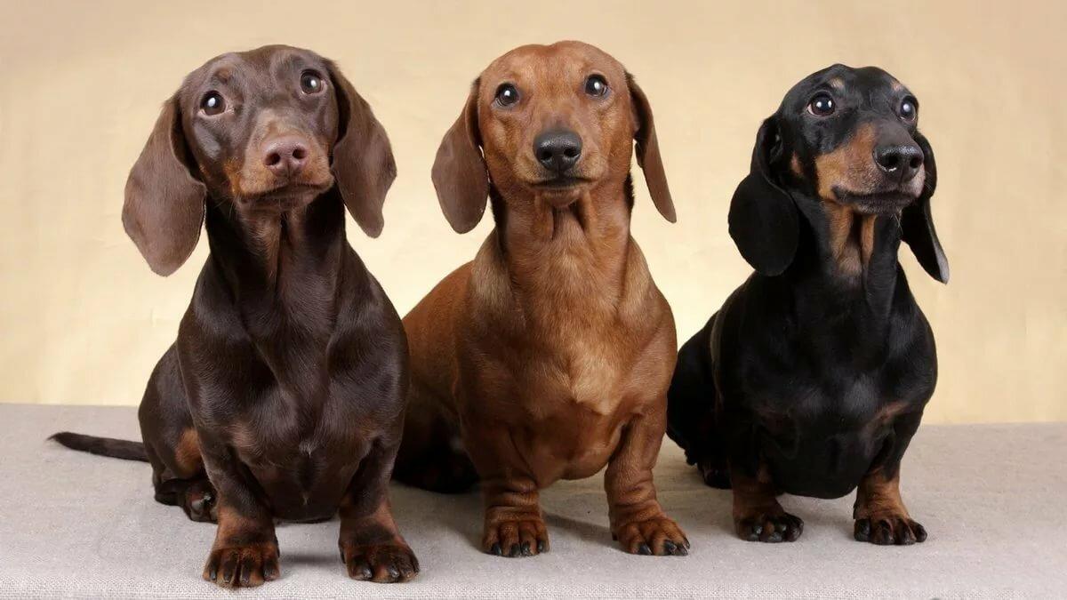 Картинки с собаками такса