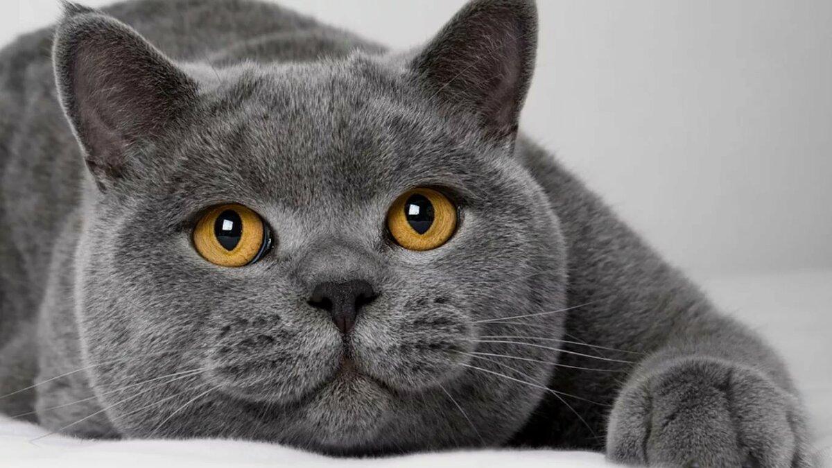 Днем рождения, картинки британские кошки и котята
