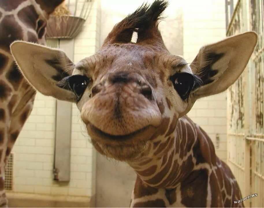 Картинки жирафа прикольный, анимация счастья здоровья