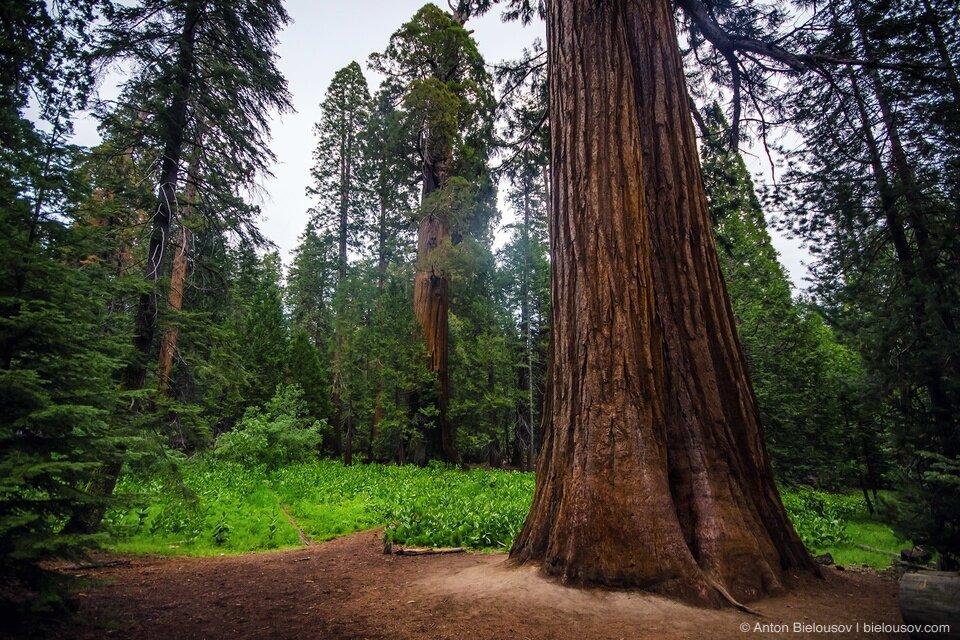 самое высокое дерево в мире фото компания принадлежала