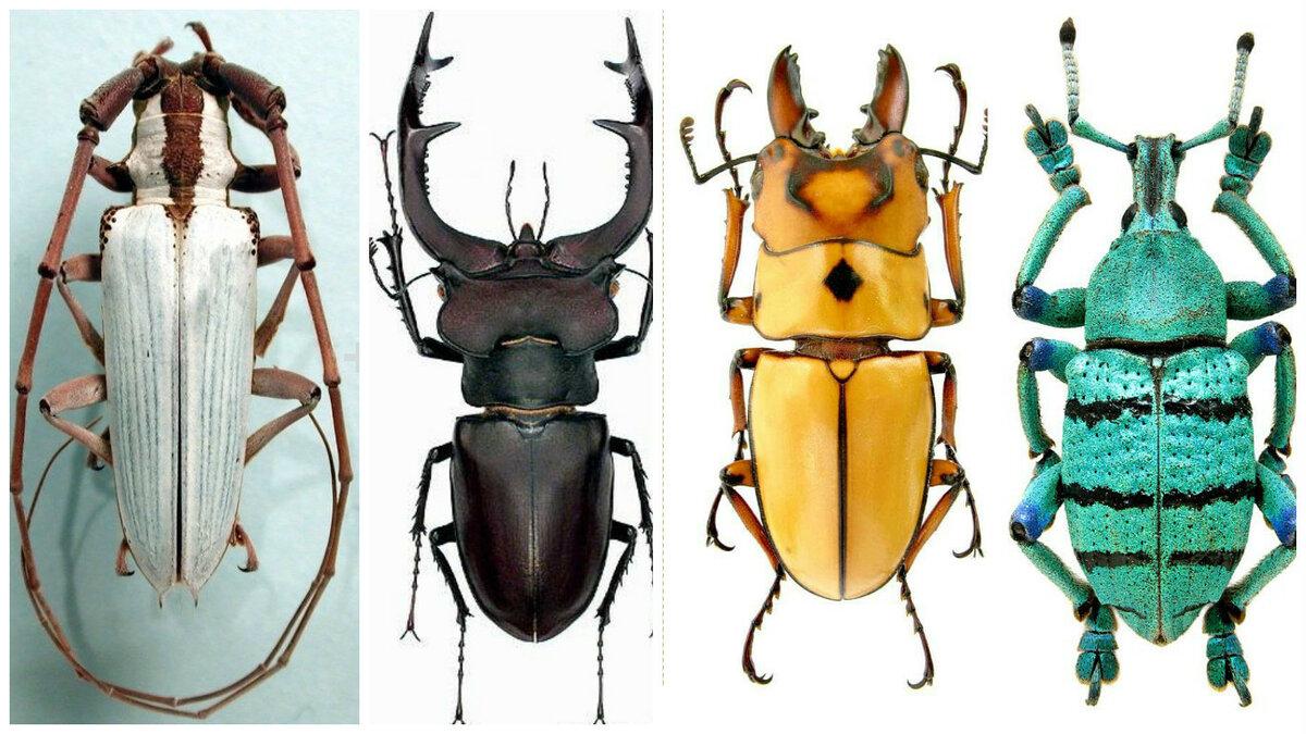 плетистых все жуки россии по картинками раньше