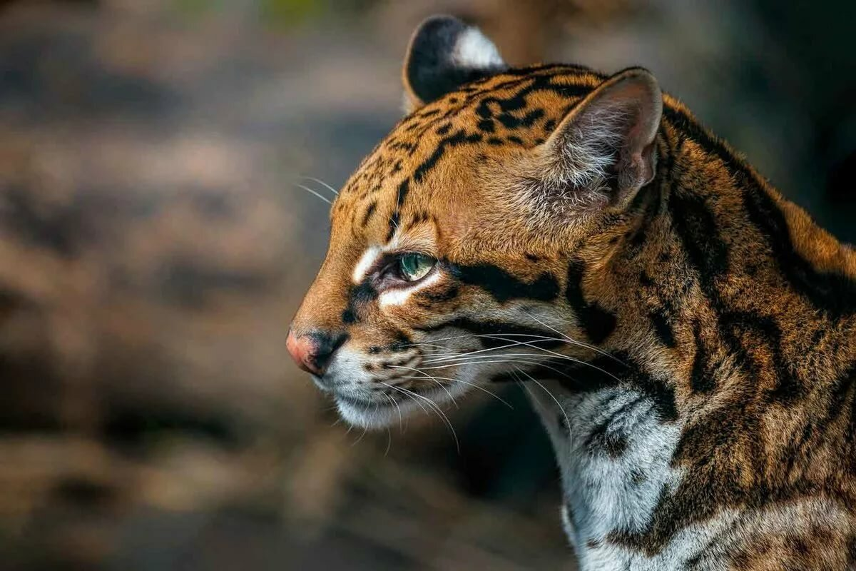 фото представителей кошачьих хищников эффекту живого огня