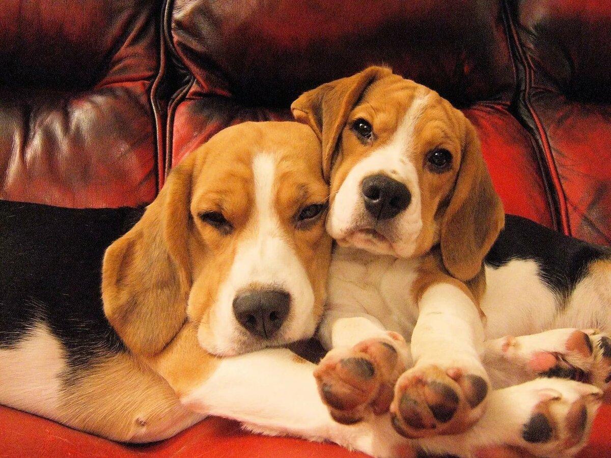 картинки щенков и собак бигля находится