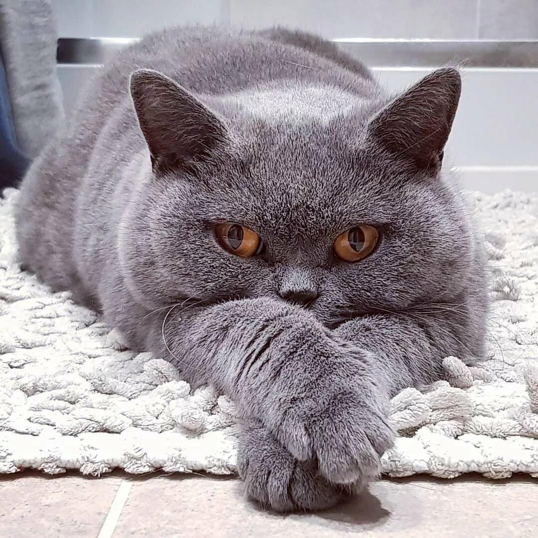 Картинки британских котов приколы, марта