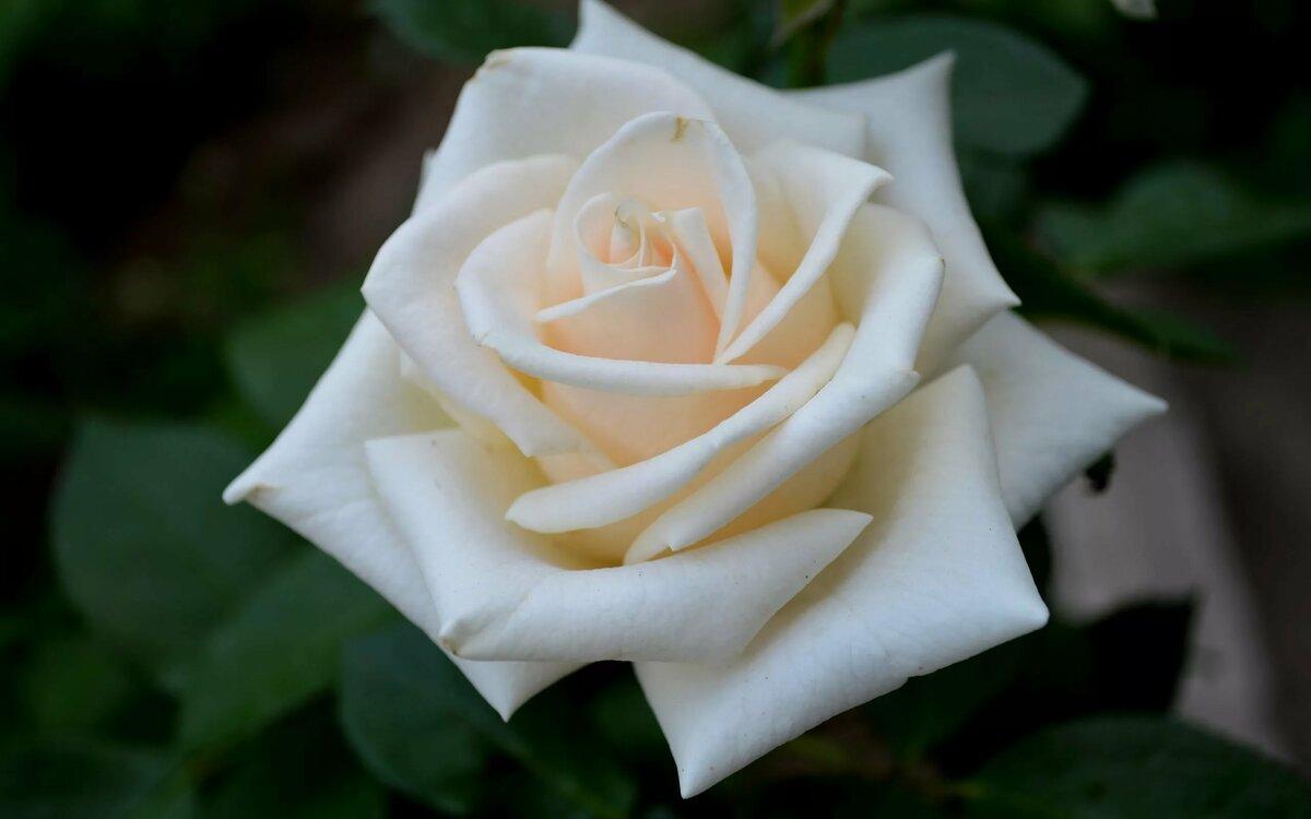 Картинки роза на белом