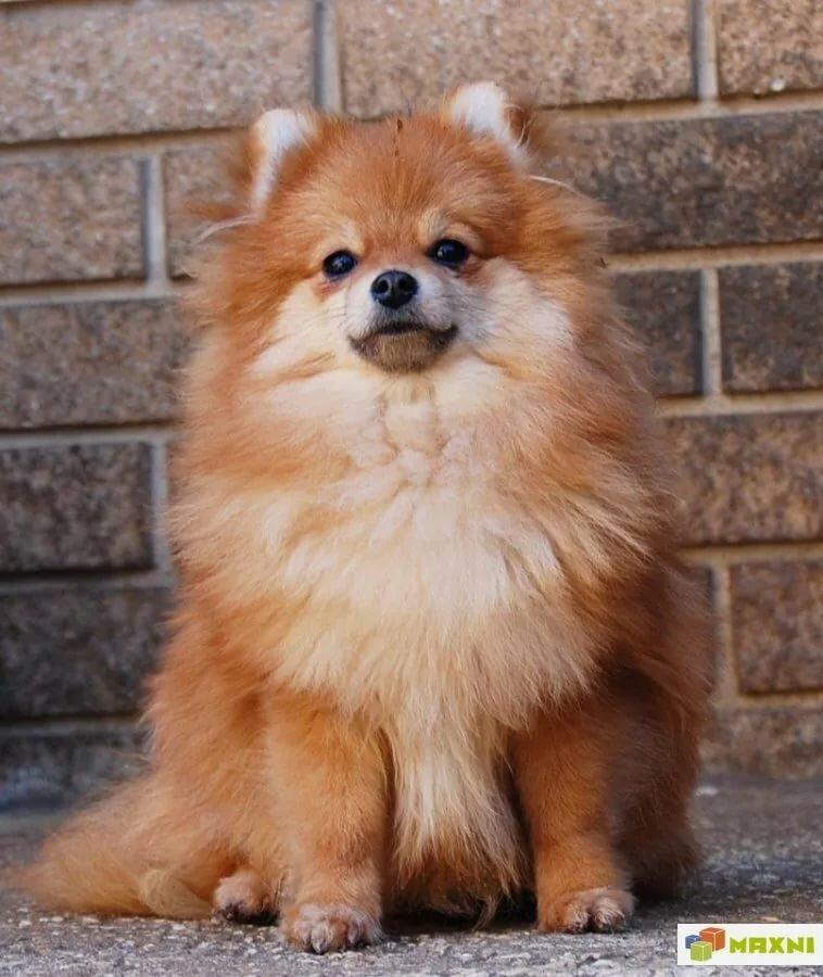 покажите фото собаки шпиц мировая