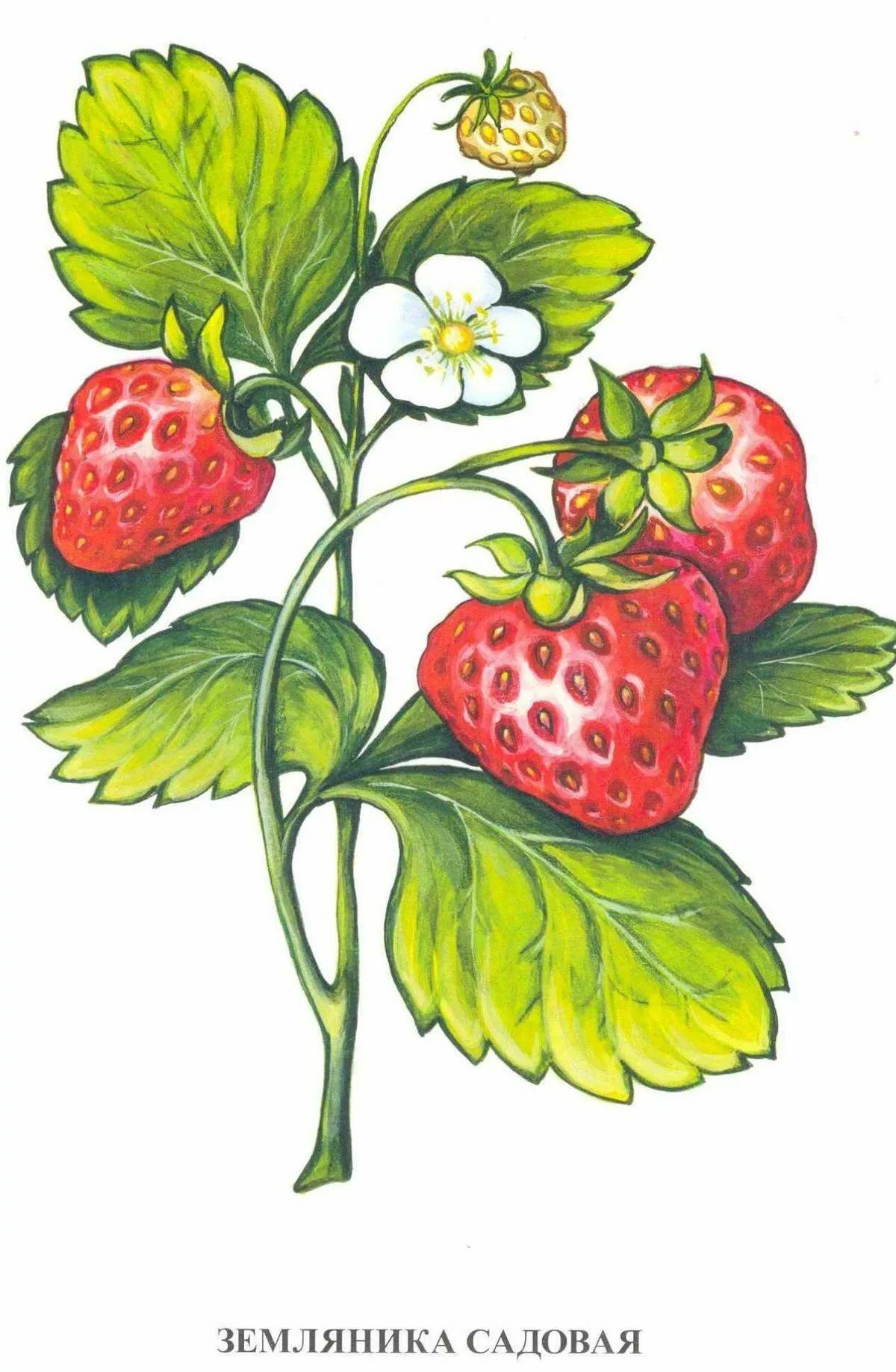 Картинки для детей ягоды клубники